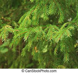Fir tree - Close-up of fir tree branches