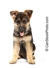 german shepard dog - puppy of german shepard dog portrait on...