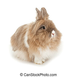 Lionhead rabbit. In the Oriental calendar 2011 - the year of...