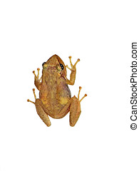 Coqui Frog isolated on white background, Coqui frog is...