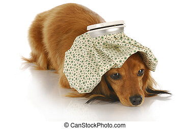 sick dog - dachshund with hot water bottle on head with...