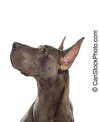 great dane looking up with cropped ears on white background