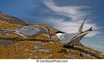 Arctic Tern with food for its mate - A male Arctic Tern...