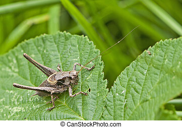 a dark bush cricket poised - cricket ready to jump sits on a...