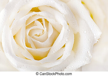 White rose - Close up of white rose with dew