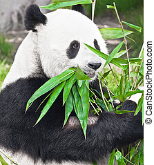 Giant panda - Feeding time Giant panda eating bamboo leaf