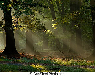 beech forest with fog and warm sunshine in autumn, fall