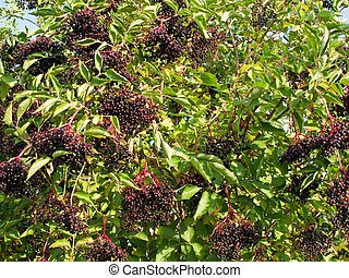 Ripe Sambucus nigra, elder, elderberry on bush in autumn