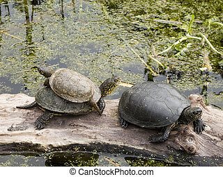 Emys immagini e archivi fotografici165 emys immagini e for Stagno tartarughe