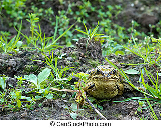 European common frog, rana temporaria, in frontal view