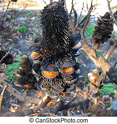 Banksia seed pod after fire - black Banksia seed pood after...
