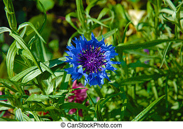 Cornflower - Dark blue cornflower,Cornflower,Dark blue...