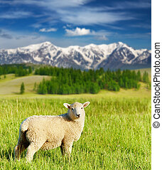 Grazing lamb - Landscape with grazing lamb and snowy...