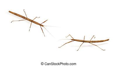 stick bug, insect, Phasmatodea - Oreophoetes peruana...