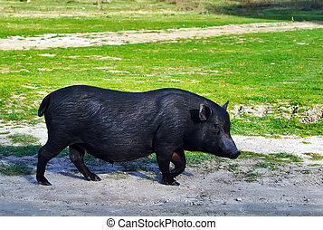Vietnamese pig grazing in the steppe region of Crimea