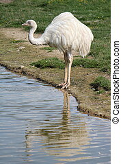 EMU, charca, luego