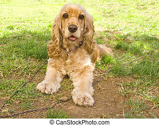 Cute american Cocker Spaniel puppy - Cute American Cocker...