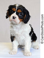 tri color cavalier king charles puppy - champion lines
