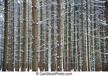 cold boles - fresh snow on branches of conifers