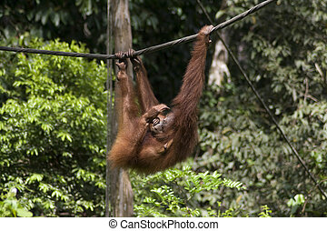 Sepilok Orang-utan - Orangutan mother in Sepilok Jungle...