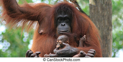 Orangutan mother and baby - Orangutan mother holding baby