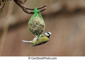 Blue Tit (Parus caeruleus) feeding on a fat ball in winter