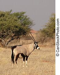 Gemsbok (Oryx gazella) in the Kalahari Desert, Namibia
