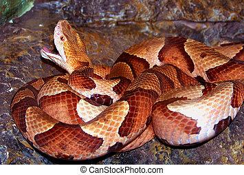 Copperhead Snake - Copperhead snake with mouth open
