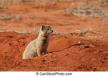 Yellow Mongoose Cynictis penicillata in the Kalahari Desert,...