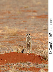 Meerkat (Suricata suricatta) standing guard on the entrance to his family's burrow in the Kalahari desert, Namibia