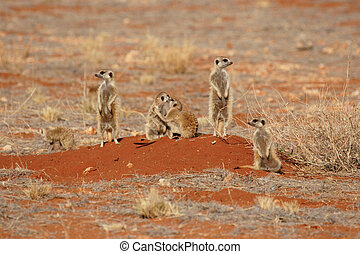 A family of Meerkats (Suricata suricatta) watching their surroundings