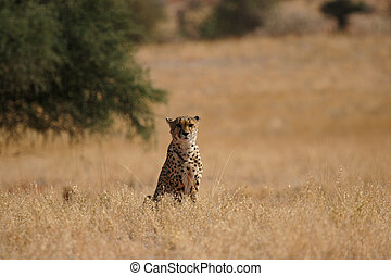 Cheetah in the Kalahari desert, Namibia