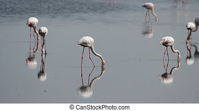 Greater flamingos (Phoenicopterus ruber) searching for food...