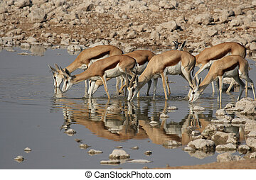 Springbok Antidorcas marsupialis at the watehole in the...