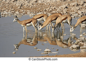 Springbok (Antidorcas marsupialis) at the watehole in the...