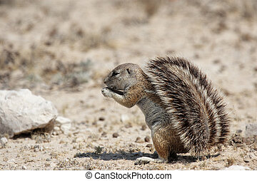 Southern African Ground Squirrel Xerus inauris in the Etosha...