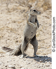 Southern African Ground Squirrel (Xerus inauris) in the...