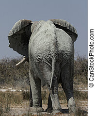 Elephant Loxodonta africana in the Etosha National Park,...