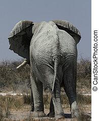 Elephant (Loxodonta africana) in the Etosha National Park,...