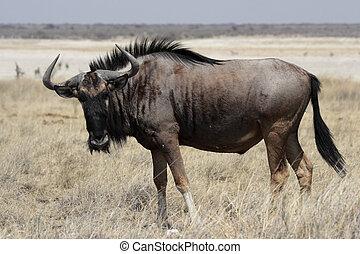 Blue Wildebeest in the Etosha National Park, Namibia
