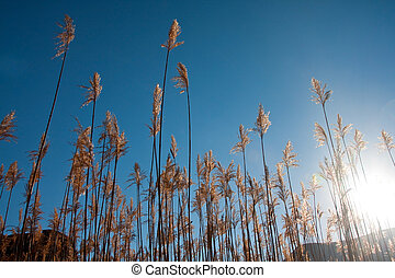 Reeds with blue sky at sunrise looking up