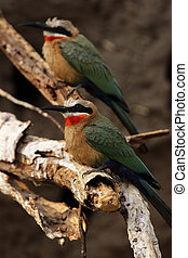 White-fronted Bee-eater (Merops bullockoides) in the...