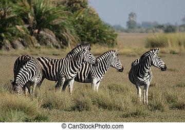 Plains Zebra in the Okavango Delta, Botswana.