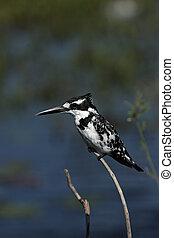 Pied Kingfisher Ceryle rudis in the Okavango Delta, Botswana...