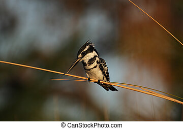 Pied Kingfisher (Ceryle rudis) in the Okavango Delta,...