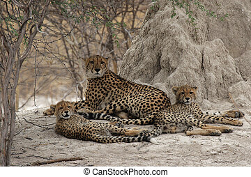 Cheetah family rests in the shadow of a termite mound in the...