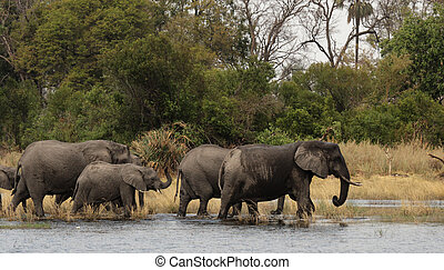 Elephants Loxodonta africana in the Okavango Delta, Botswana...