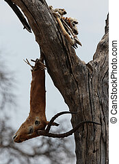 The remainder of a dead Impala, probably a Leopard's kill, hangs from a tree in the Okavango Delta, Botswana.