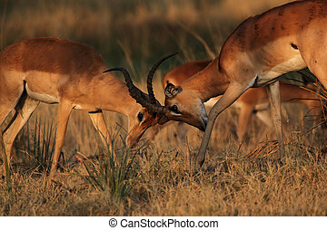 Two fighting Impalas (Aepyceros melampus) in the Okavango...