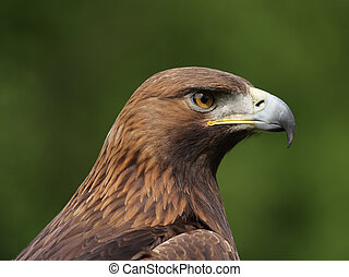 Golden Eagle (Aquila chrysaetos) - Portrait of a Golden...